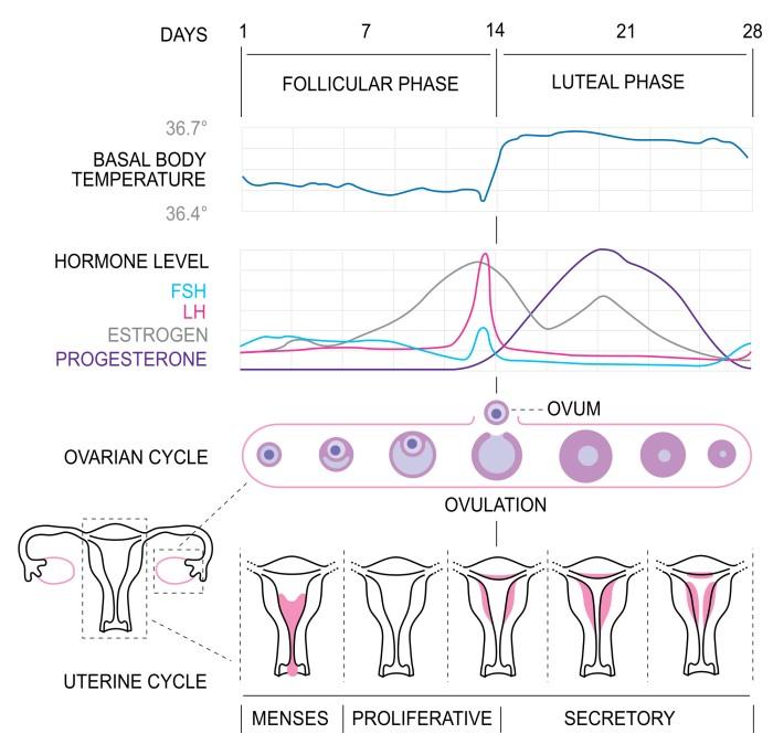 menstrualni-cikel